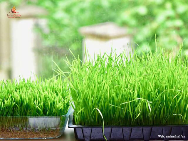Lợi ích sức khỏe của cỏ lúa mì